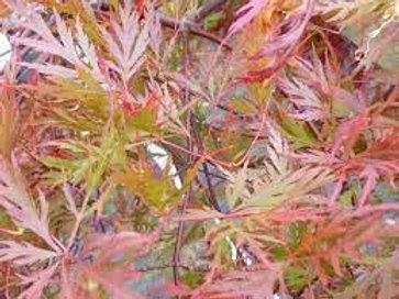 Acer palmatum dissectum 'Orangeola' - Weeping Maple Laceleaf Red