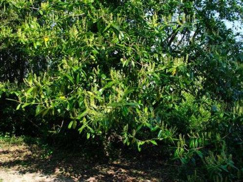 Prunus laurocerasus - English Cherry Laurel