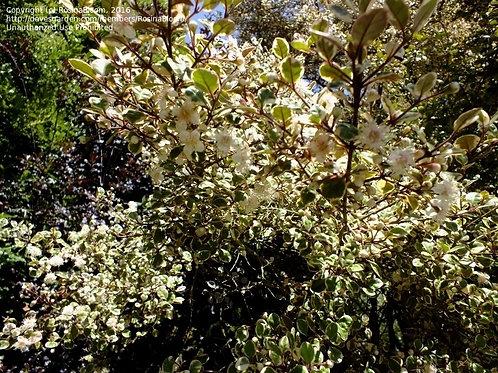 Lophomyrtus ralphii gloriosa - NZ Myrtle