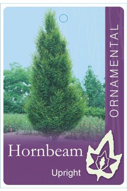Carpinus betula fastigiata - Upright Hornbeam