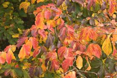 Parrotia persica - Persian Witch Hazel