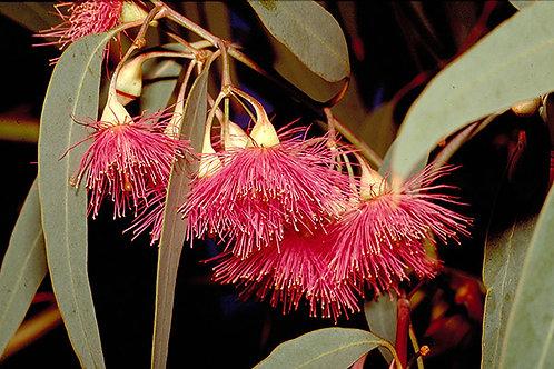 Eucalyptus leucoxylon rosea - Yellow Gum