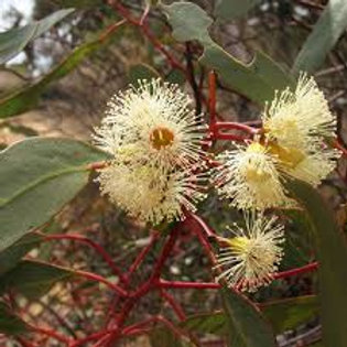 Eucalyptus incrassata - Ridge Fruited Mallee