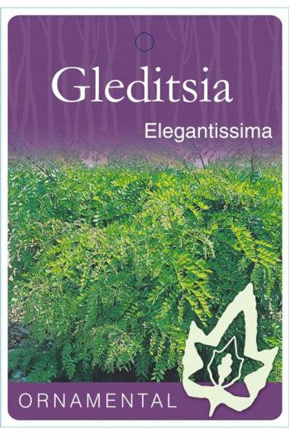 Gleditsia triacanthos - Elegantissima