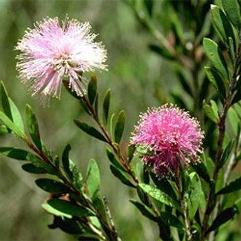 Melaleuca nesophila - Showy Honey Myrtle