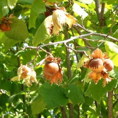 Corylus avellana - Cosford Hazelnut