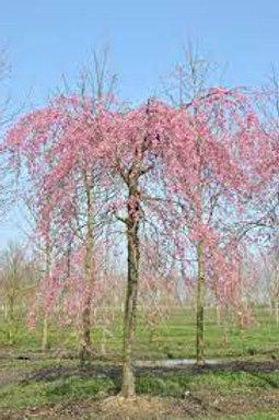 Prunus subhirtella 'Pendula Rosea' - Weeping Cherry Pink