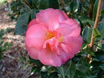 Camellia sasanqua - Roseanne