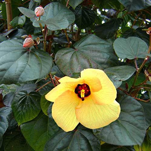 Hibiscus tiliaceus 'Rubrum' - Cottonwood Hibiscus