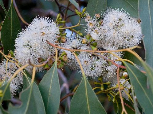 Eucalyptus ovata - Swamp Gum