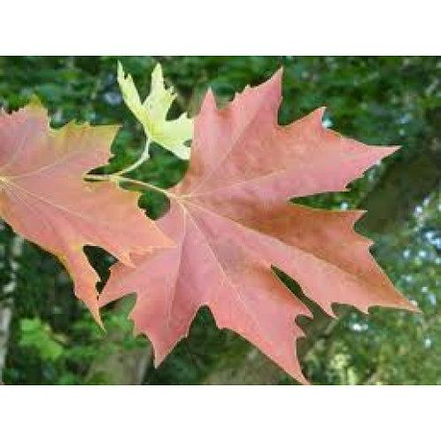 Platanus orientalis insularis - Autumn Glory