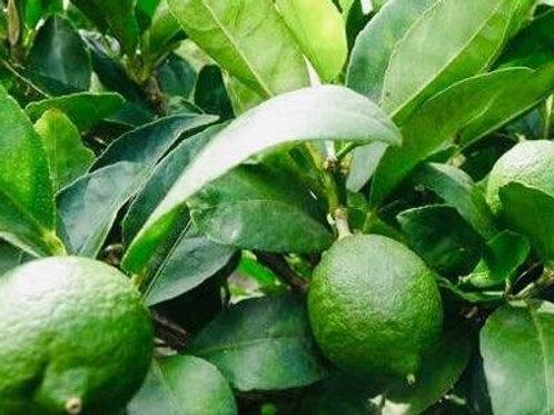 Citrus aurantiifolia - Dwarf Tahitian Lime