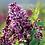 Thumbnail: Syringa vulgaris - Sensation