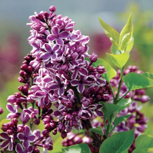 Syringa vulgaris - Sensation