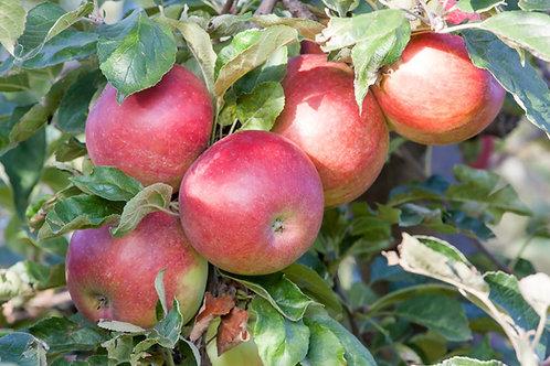 Malus domestica - Columnar Apple 'Cumulus'