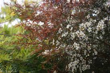 Leptospermum polygalifolium - 'Copper Glow' Teatree