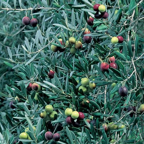 Olea europaea - Correggiola Olive