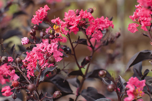 Lagerstroemia indica -Twilight Magic