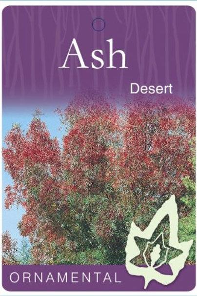 Fraxinus oxycarpa - Desert Ash