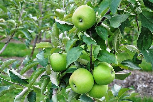 Malus domestica - Leprechaun Dwarf Apple