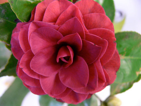 Camellia japonica 'Rodger Hall'