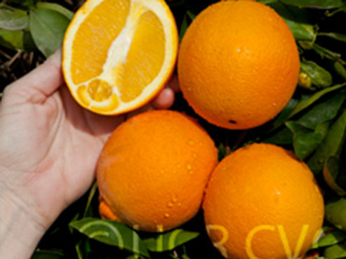 Citrus sinensis - 'Fisher' Navel Orange