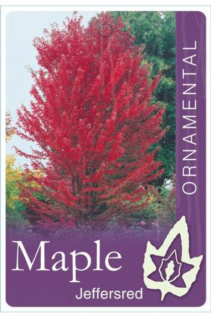 Acer freemanii - Red Maple 'Jeffers Red'