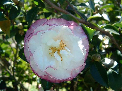 Camellia sasanqua 'Beatrice Emily'
