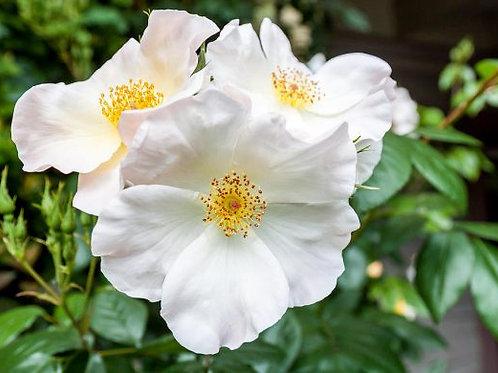 Camellia sasanqua 'Cleopatra White'