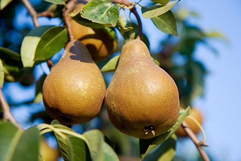 Pyrus communis - 'Buerre Bosc' Pear