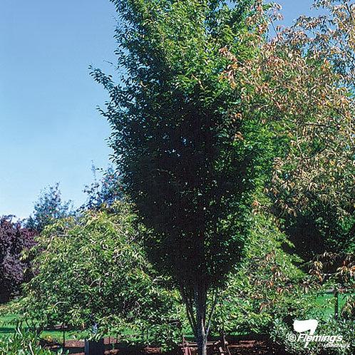 Zelkova serrata - Mushashino Elm