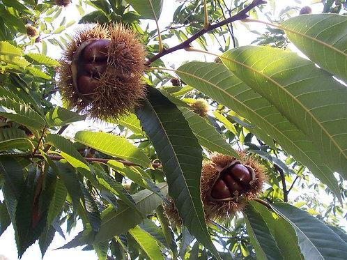 Castanea sativa - Marone Chestnut
