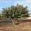 Thumbnail: Ceratonia siliqua - Carob