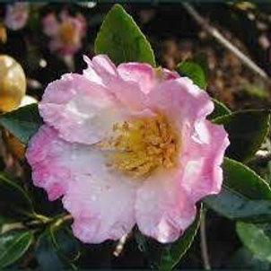 Camellia sasanqua - Fukuzutsumi