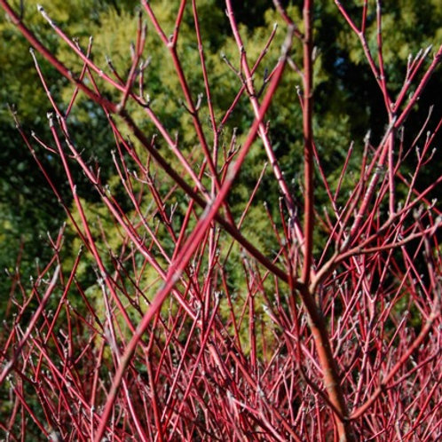 Cornus baileyi - Red Twig Dogwood