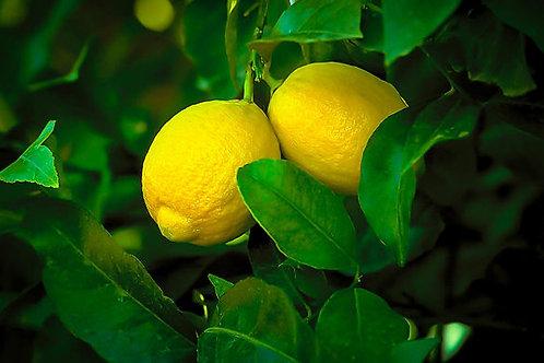 Citrus limon - 'Lisbon' Lemon