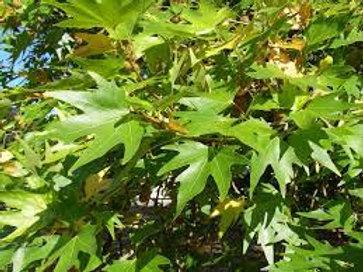 Platanus orientalis digitata - Cut Leaf Plane Tree