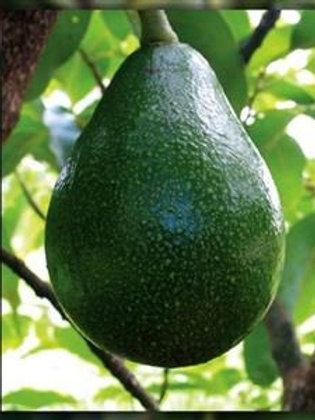 Persea americana (A) - Reed Avocado