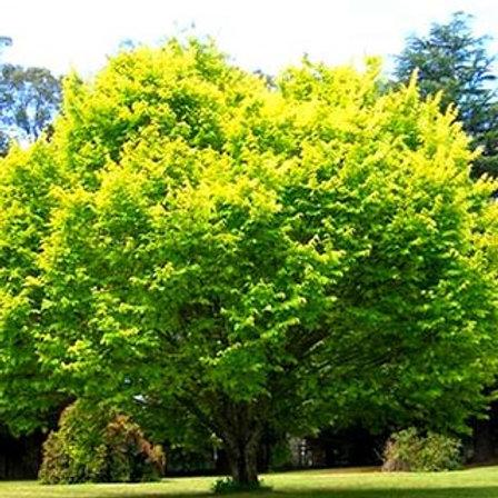 Zelkova serrata - 'Golden Flame' Japanese Elm