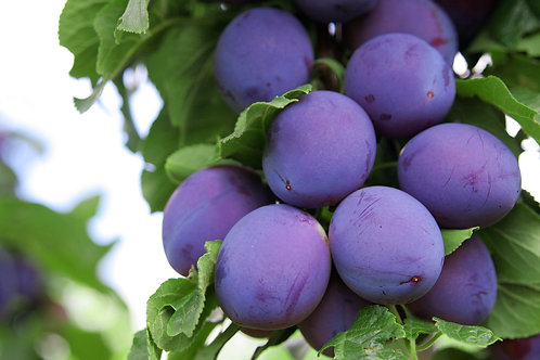 Prunus salicina - 'Angelina Dwarf' Plum