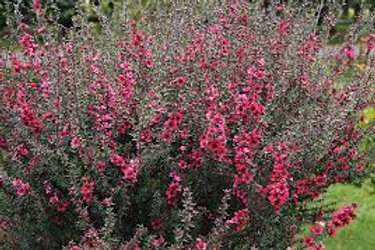 Leptospermum scoparium - 'Big Red' Teatree