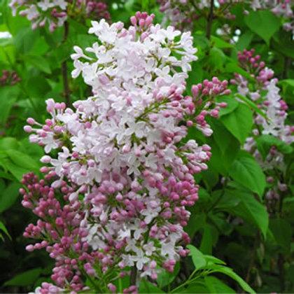 Syringa wolfii - Wolf's Lilac