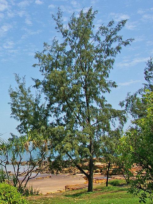 Casuarina equisetifolia - Coastal Sheoak