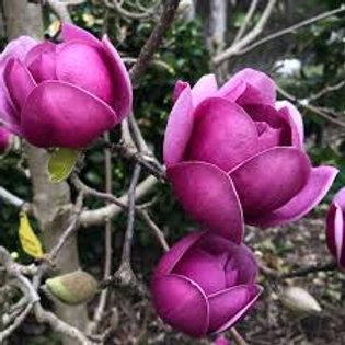 Magnolia x soulangeana - Black Tulip
