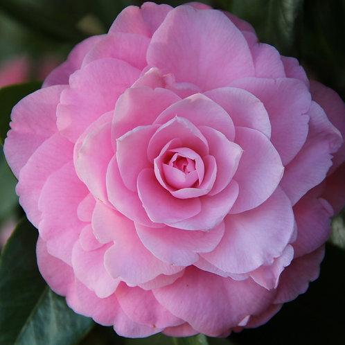 Camellia x williamsii - Betty Ridley