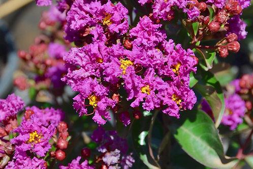 Lagerstroemia indica - Purple Magic
