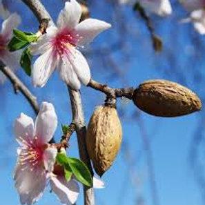 Prunus amygdalus - 'Fritz' Almond