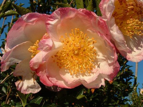 Camellia sasanqua 'Narumi Gata'