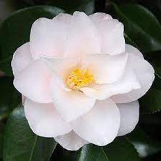 Camellia japonica - Magnoliaeflora