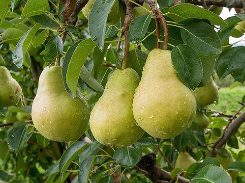 Pyrus communis - 'Josephine Dwarf' Pear